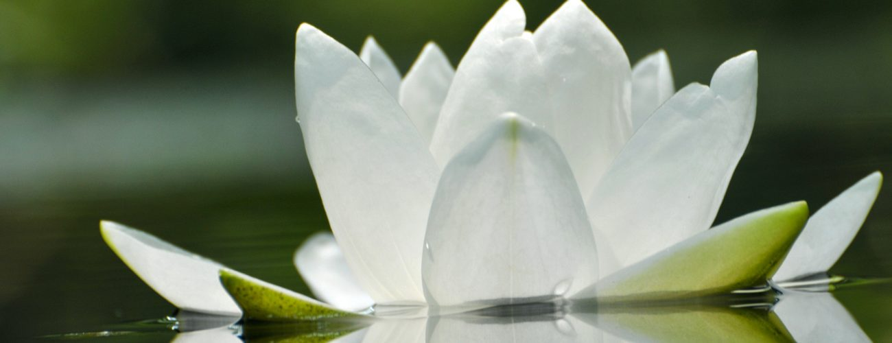 Blossom white waterlily flower